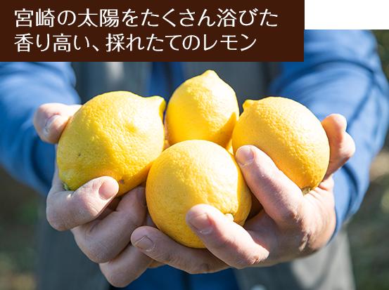 宮崎の太陽をたくさん浴びた香り高い、採れたてのレモン